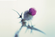SAQP-Thistle-for-web.jpg